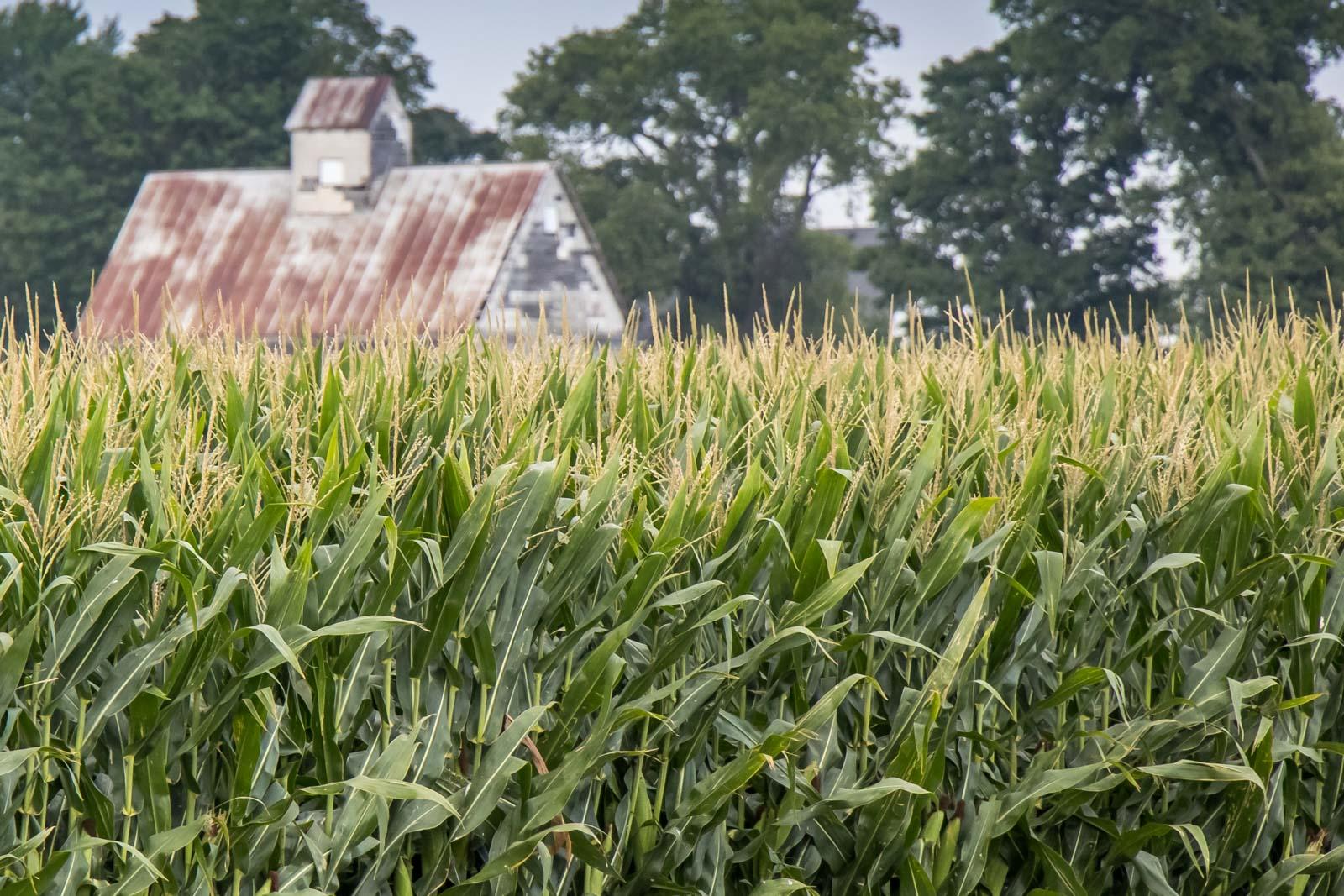 corn stalks and barn